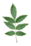 Green ash leaf. Stock Photo