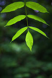 Green Ash Leaves. Close up of the leaves of a Green Ash Tree, selective focus on end leaf Royalty Free Stock Image
