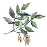 Green ash leaves. Leaf plant botanical garden floral foliage. Isolated illustration element. Aquarelle leaf for background, texture, wrapper pattern, frame or vector illustration