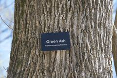 Green Ash Tree Royalty Free Stock Photos