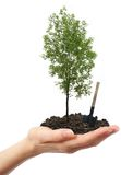 Green ash tree in hand. With shovel royalty free stock photo