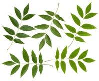 Green ash tree leaf Stock Photos