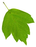 Green ash tree leaf Stock Photos