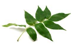 Green ash-tree leaf Royalty Free Stock Image