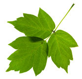 Green ash tree leaves Royalty Free Stock Images