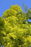 Green Ash Tree Stock Photos