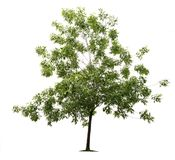 Green ash tree royalty free stock photography