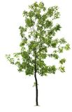 Green ash tree Stock Image