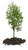 Green ash tree Stock Images