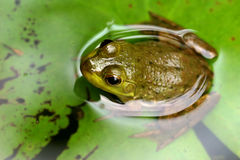 Green Asian Frog Royalty Free Stock Image