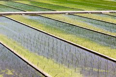 Green asian organic rice fields. Close up image stock photography