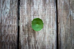 Green Asiatic Penny wort (Cent ella Asiatic ) on wooden backgrou Royalty Free Stock Photography