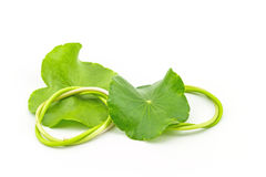Green Asiatic Pennywort (Centella asiatica ) Royalty Free Stock Images