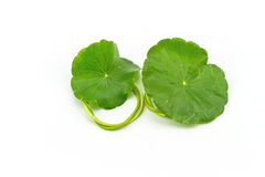 Green Asiatic Pennywort (Centella asiatica ) on white background Stock Photography