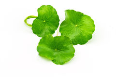 Green Asiatic Pennywort (Centella asiatica ) on white background Stock Images