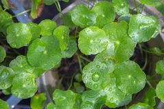 Green asiatic Pennywort leaf or Centella Asiatica with drops of water. Green asiatic Pennywort leaf or Centella Asiatica with drops of water from rain after Stock Photography