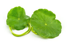 Green Asiatic Pennywort on white background Stock Photo