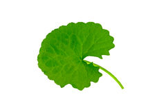 Green Asiatic Pennywort (Centella asiatica , Hydrocotyle umbellata L or Water pennywort ) isolated on white background. Stock Photos
