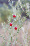 A green asparagus branch with red berries in wild stock image
