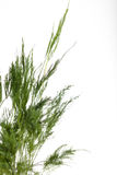 Green asparagus fern on white background Stock Images