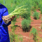 Green asparagus on hand in field Stock Photo