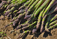 Green asparagus harvest. Plant and sprout detail Royalty Free Stock Photo