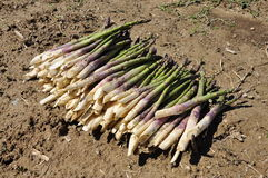 Green asparagus harvest. Royalty Free Stock Image