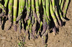 Green asparagus harvest Stock Photography