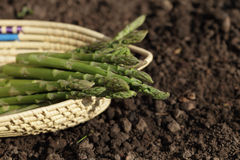 Green asparagus spears in backet on the soil Stock Images