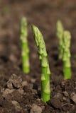 Green asparagus spears emerging through Royalty Free Stock Photos