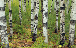 Green aspen glade background. Stock Image