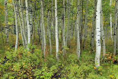 Green aspen glade background. Stock Photos