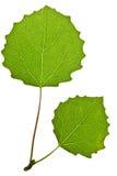 Green aspen leaf. Isolated on white Stock Photos