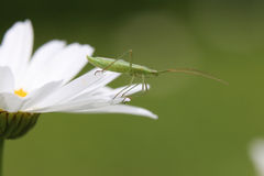 Green assassin bug Stock Photography