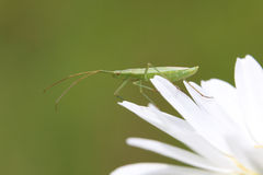 Green assassin bug Stock Photo