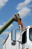 Green Auger unload Wheat into White Semi Royalty Free Stock Photo