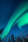 Green Aurora borealis rises over white birch trees royalty free stock image