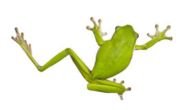 Green Australian tree frogs Royalty Free Stock Images