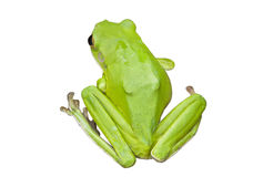 Green Australian tree frogs stock images
