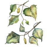 Green autumn leaf birch. Leaf plant botanical garden floral foliage. Isolated illustration element. Aquarelle leaf for background, texture, wrapper pattern vector illustration