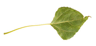 Green autumn leaf poplar Royalty Free Stock Images
