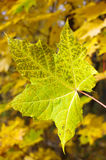 Green autumn leaves Stock Photos