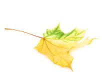 Green autumn maple leaf isolated Royalty Free Stock Photography