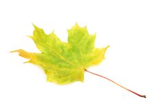 Green autumn maple leaf isolated Royalty Free Stock Photos