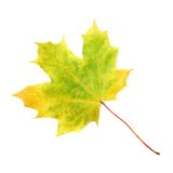 Green autumn maple leaf isolated Royalty Free Stock Image