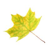 Green autumn maple leaf isolated Stock Image