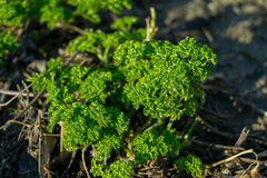Green autumn parsley. A green curly parsley into a garden in autumn Stock Photography