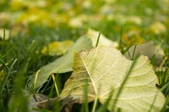 Green autumnal lawn with the fallen yellow leaves. In the park. Good autumnal mood royalty free stock photography