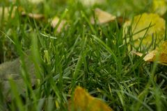 Green autumnal lawn with the fallen yellow leaves. In the park. Good autumnal mood royalty free stock photos