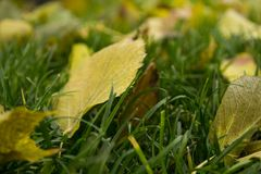Green autumnal lawn with the fallen yellow leaves. In the park. Good autumnal mood royalty free stock image